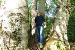 È salvo il grande Faggio nel Parco Nazionale della Sila